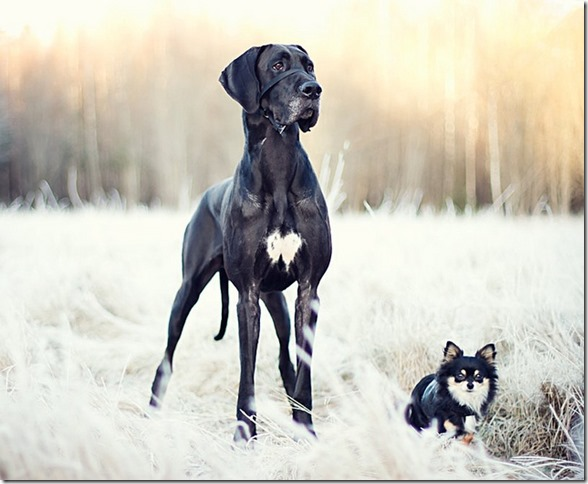 Great Dane standing next to small dog